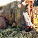 Hope for Poached Rhino Called Hope