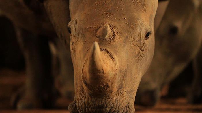 rhino-horn-STROOP
